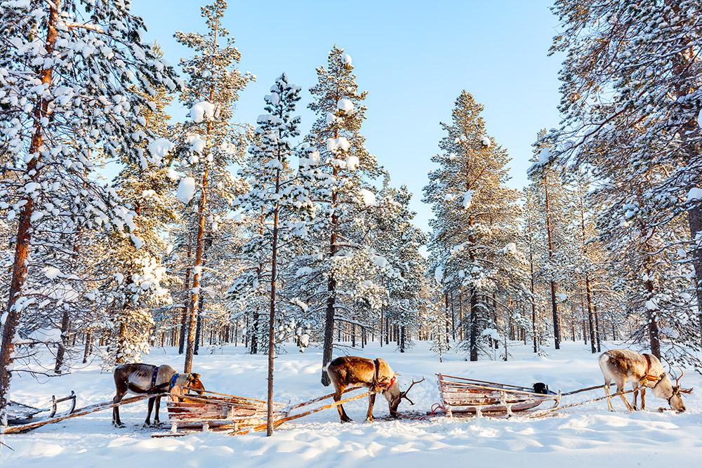 Safari rennes Laponie finlandaise