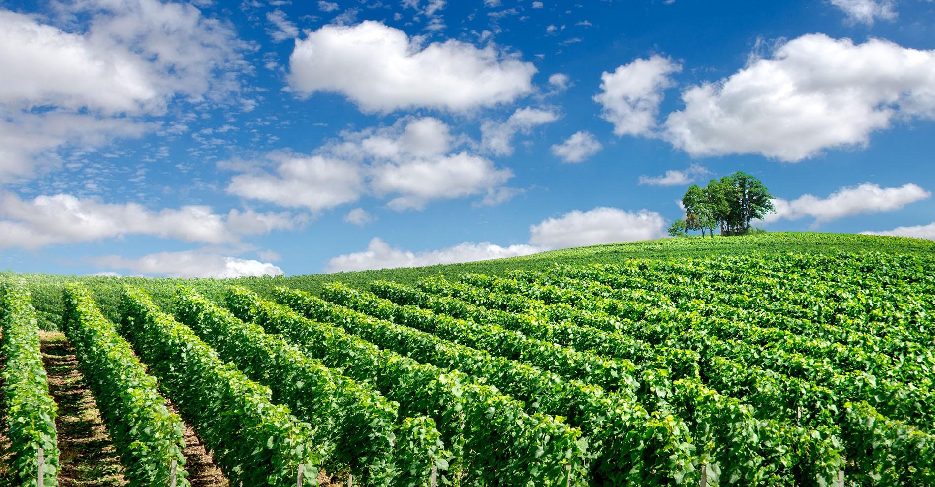 Vignes de Champagne